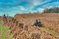 Amish Corn Harvesting