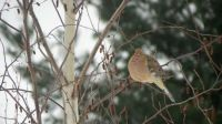 Puffed up mourning dove