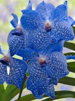 Blue Orchids via tumblr