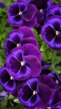 4  ~  Purple Pansies.