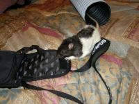 THEME: SMALL PETS - SKITTLES STEALING MY CAMERA BAG