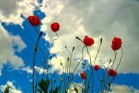 looks like poppies