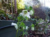 Hellebore Winter Rose