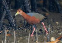 Another Rufous-necked Wood-Rail