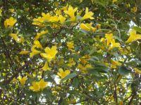 Carolina jasmine in full bloom, 01.09.20