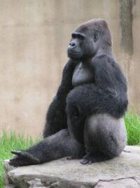 Zoo #3 --Gorilla
