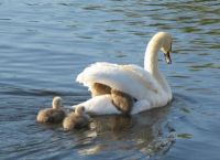 Mrs Swan and Cygnets