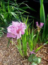 My garden... Siberian Iris