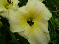 Day lily in the rain