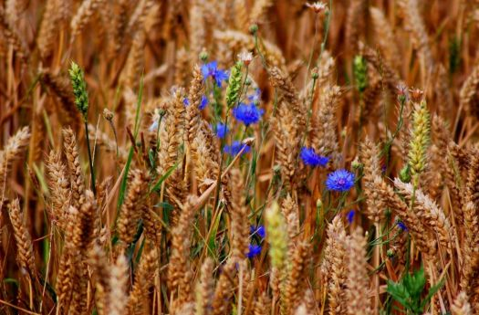Grain and Flower - photog unknown