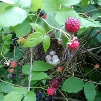 rasberries and wren eggs