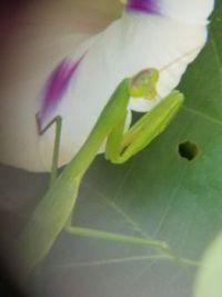 Praying Mantis on Morning Glory