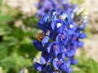 Bluebonnet & Honeybee #2