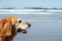 Happy old dog, at Cannon Beach OR