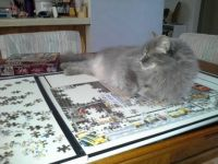 Cookie Graycie Helps With Puzzle