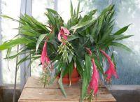 Billbergia Queen's tears 4 blooms