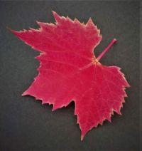 The last vine leaf