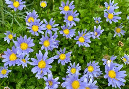 Lovely blue stars in the garden