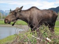Moose seen at Alaskan Wildlife Conservation Center, Anchorage