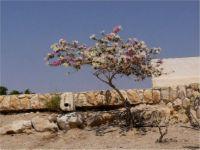Bougainvilea in En Gedi, Israel