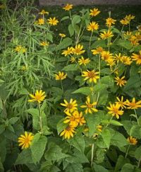 Heliopsis, Central Park, NYC