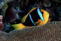 anemonefish, Fiji