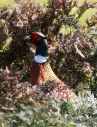Pheasant, King Island, Tas.