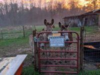 My three donkeys