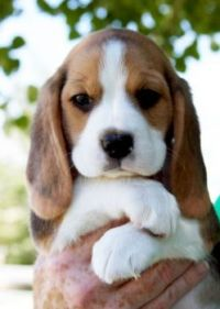 Snoopy the Beagle