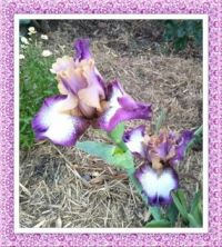 Another Beautiful Iris From Carolyn. Larger.