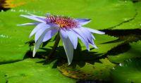 Water Lily at McKee Gardens, FL
