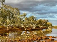 River Gums beside the river