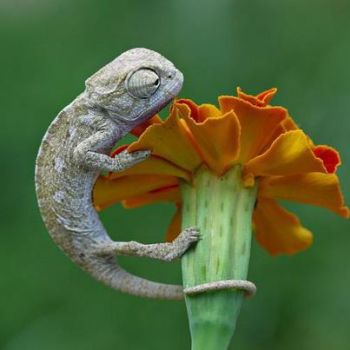 Wild for Wildlife and Nature - Chameleon