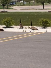 Canadian Geese family in a parking lot