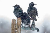 3 starlings Wildlife in the Garden by Jonathan Need international garden photographer of the year