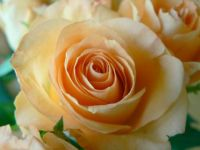 apricot-colored-rose-closeup May 24 2015