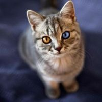 The Genetics of an Odd-Eyed Cat
