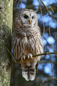 Northern Barred Owl by Jim Montanus, photographer