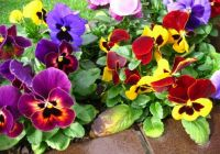 A dance of Pansies