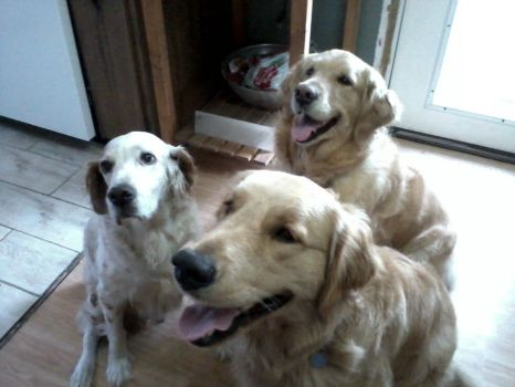 GOLDENS AND TOMMY TOO