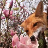 Liška_Fox