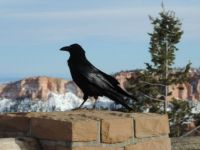A Raven at Ponderosa Point Vista