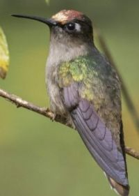Blossomcrown Hummingbird this is the the Tolima Blossomcrown