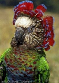 Red-fan parrot (Deroptyus accipitrinus) image 2