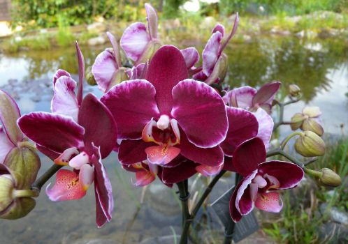 Phalaenopsis amabilis 'Debora'