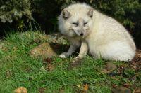 Arctic Fox in the sunshine