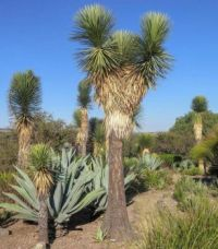 Yucca for Helenpuz