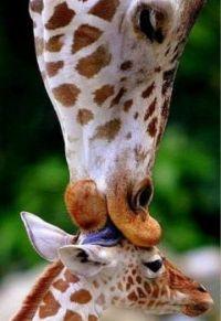 mother love giraffe