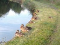 Ducks by river
