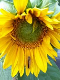 Sunflower with visitor